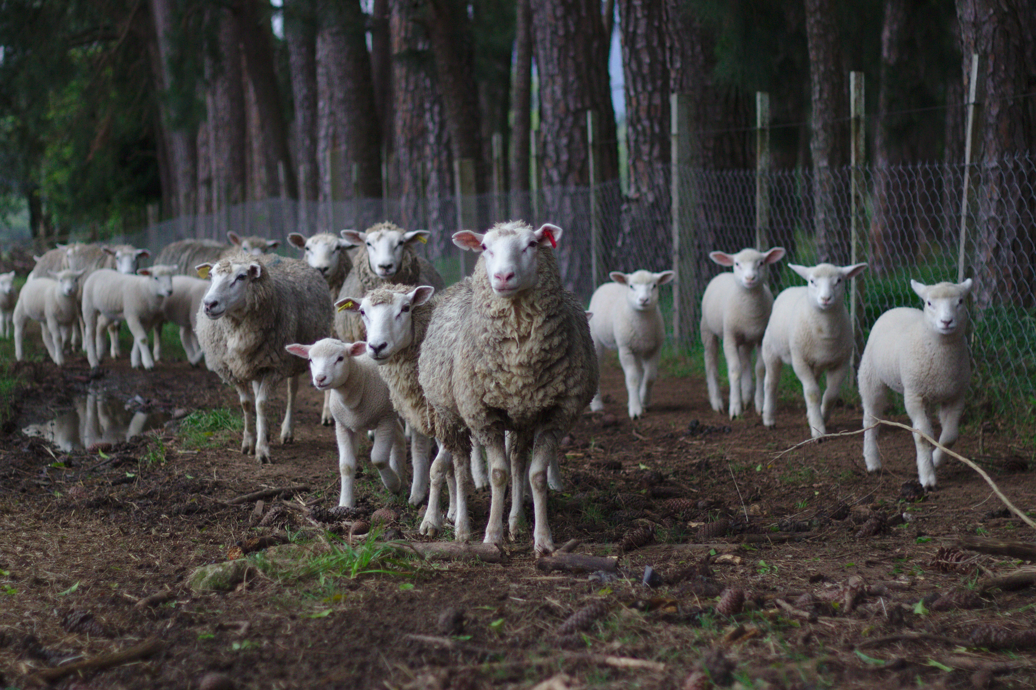 Healthy sheep and lambs