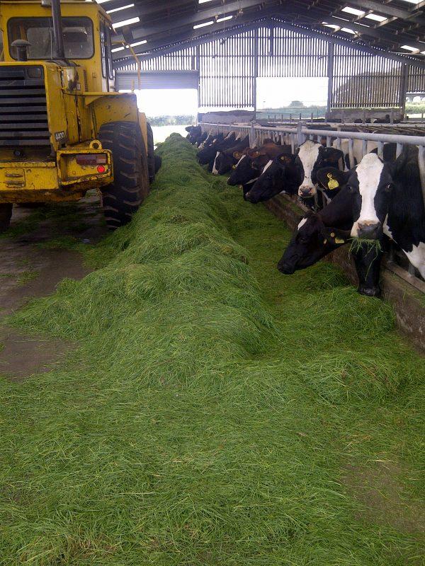 cows-indoor-feed