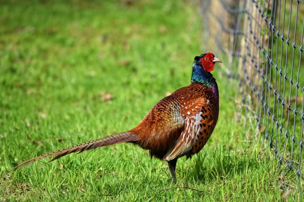 rearing pheasants and partridges