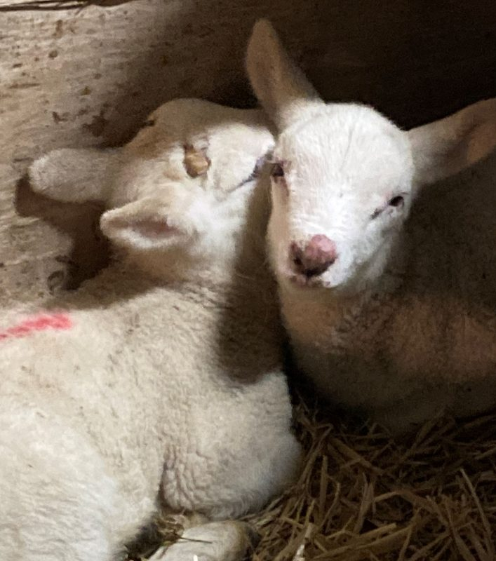 Orf in sheep and lambs