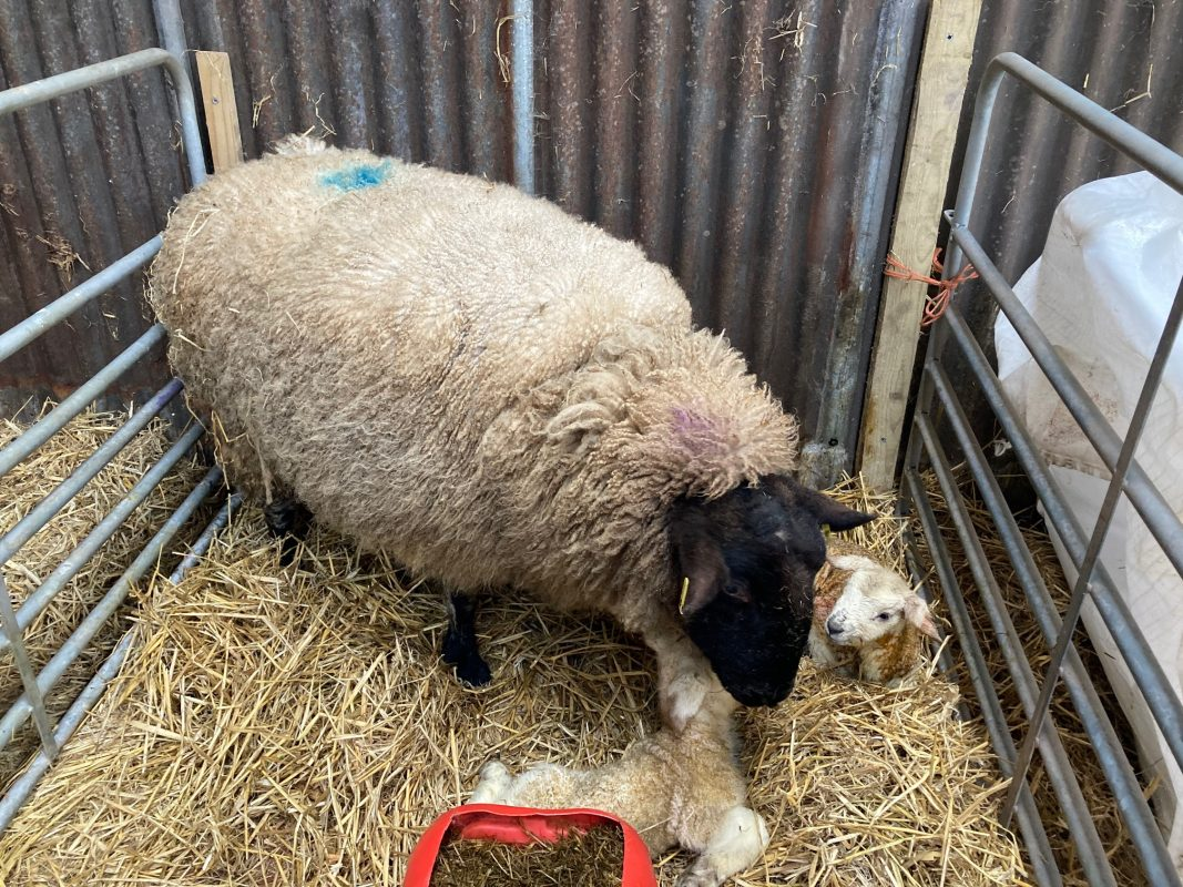 Watery mouth in lambs with ewe